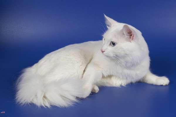 Кошки. Ангорская длинношерстная
